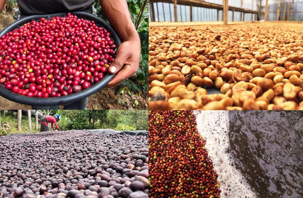 Quy trình chế biến specialty coffee